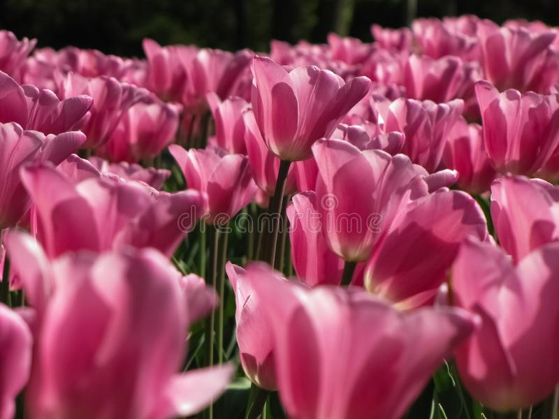 浅粉红色的郁金香群 免版税库存照片