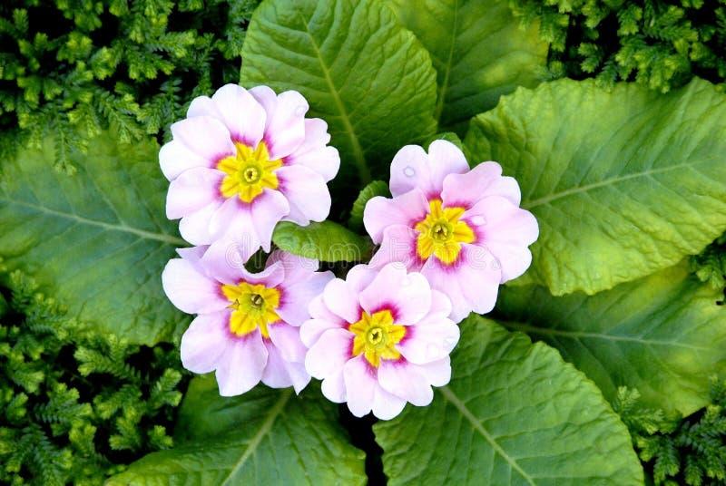 浅粉红色的颜色樱草属开花与绿色le的春天报春花 免版税库存照片