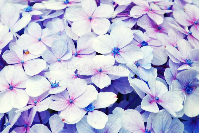 浅粉红色/紫色法国八仙花属八仙花属macrophylla 库存图片