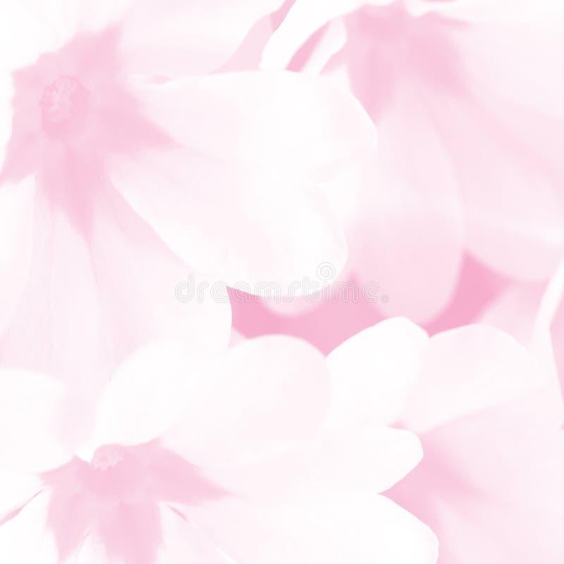 浅粉色春花宏背景 柔和柔和的报春花浪漫背景 免版税库存图片