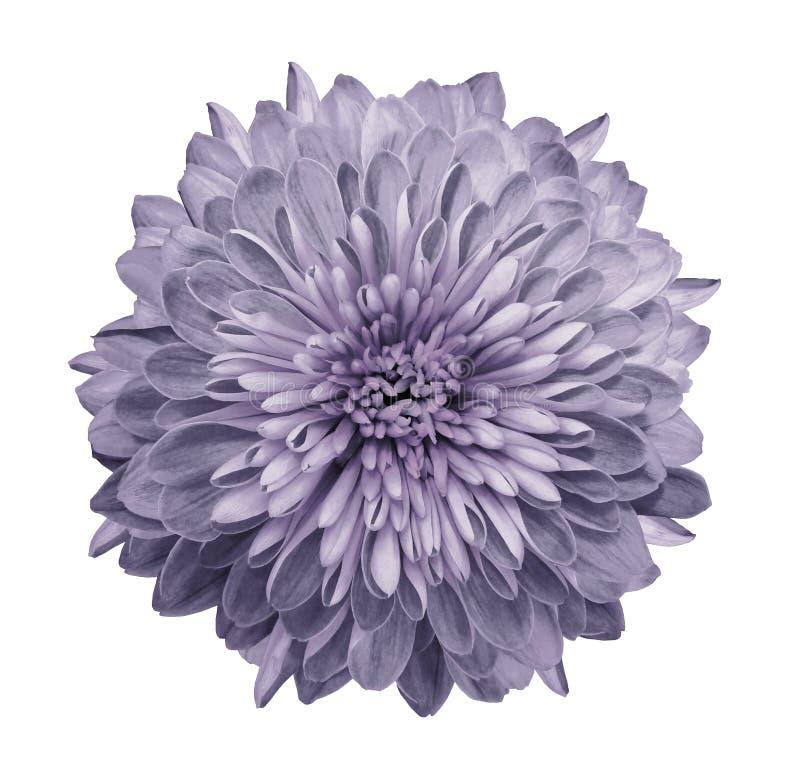 浅紫色的菊花 开花在与裁减路线的被隔绝的白色背景,不用阴影 特写镜头 对设计 免版税库存图片
