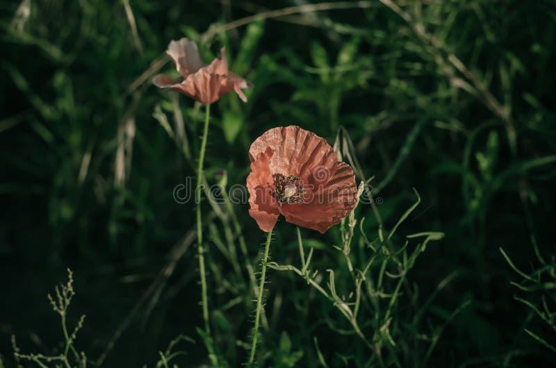浅红色的鸦片罂粟属rhoeas在绿色领域草本中开花 鸦片花在早晨阳光下 E 在眼睛leve的射击 免版税库存图片