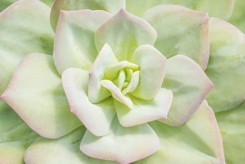 浅绿色的多汁植物叶子大玫瑰华饰特写镜头被打翻的  图库摄影