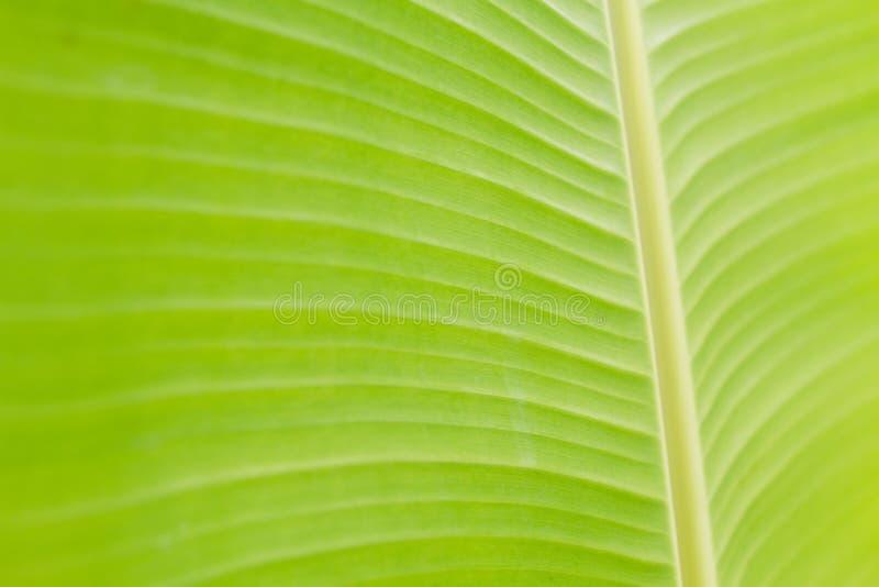 浅绿色的香蕉叶子纹理  图库摄影