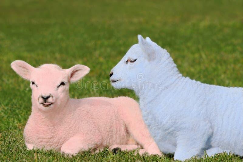 浅蓝色产小羊粉红色 免版税库存图片