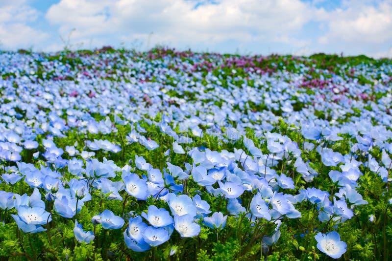 浅蓝色的领域注视nemophila花在春天期间在日立海滨公园在日本 库存照片