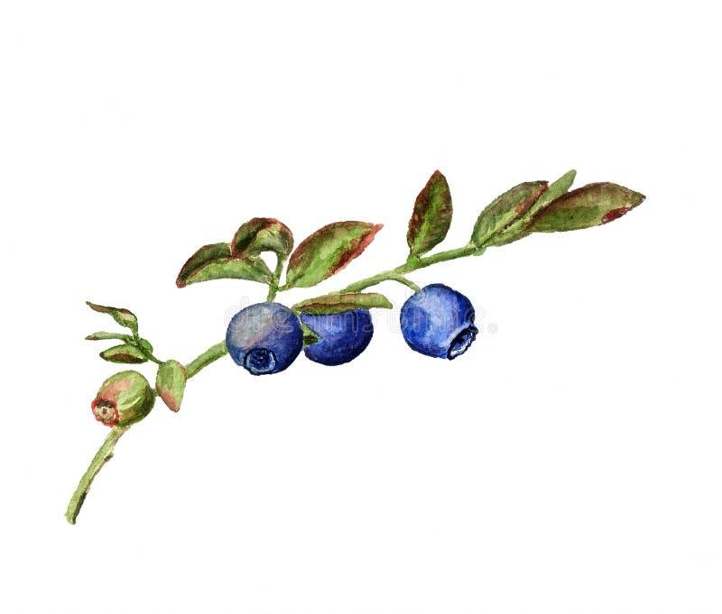 浅蓝莓的分行dof 皇族释放例证