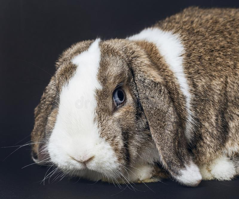 浅褐色和白色兔子 免版税库存图片