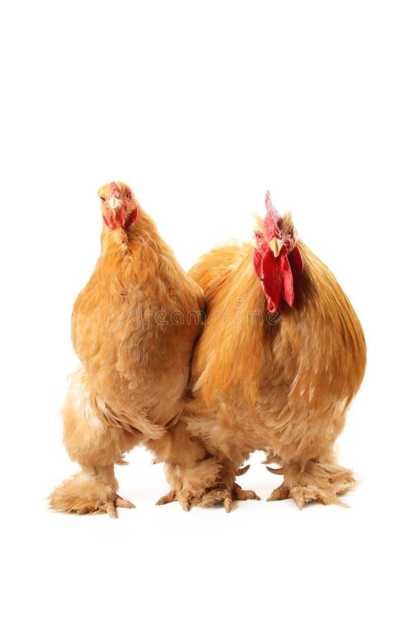 浅黄色的科钦母鸡雄鸡 免版税图库摄影