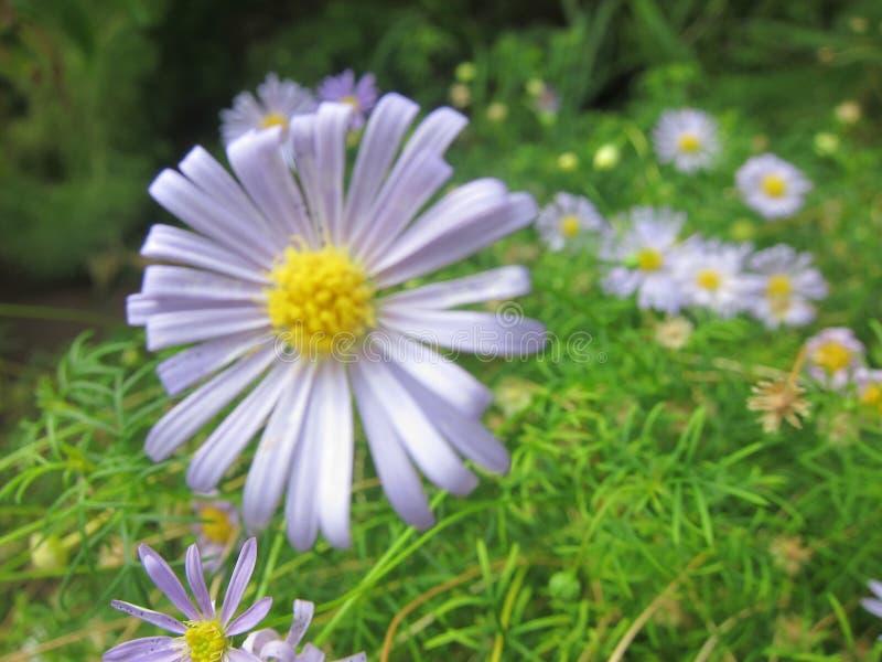 浅紫色的花 免版税库存图片