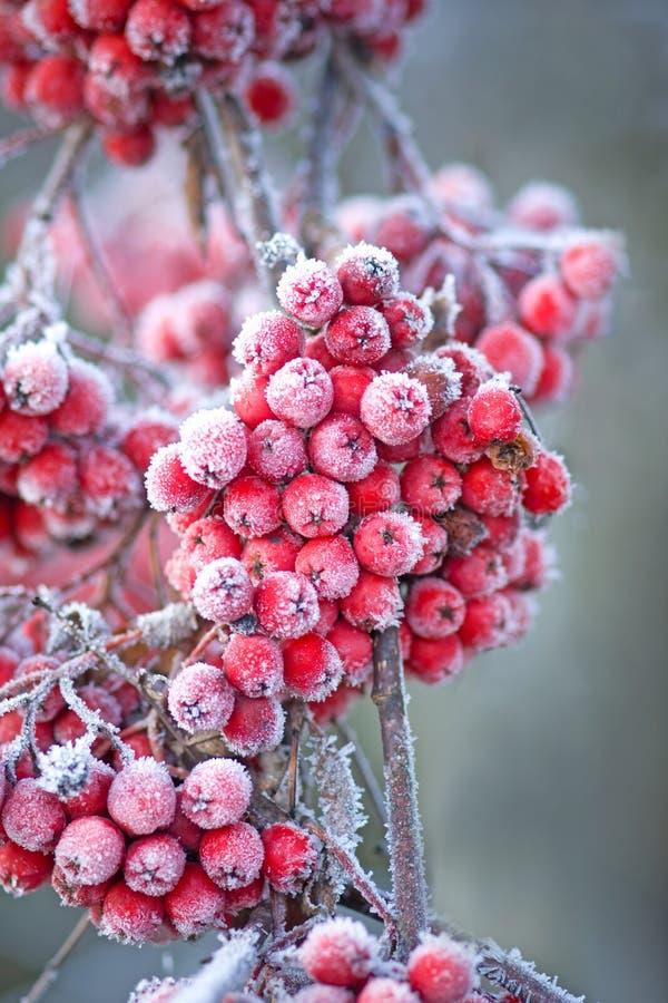 浆果冰冷的花揪 库存图片
