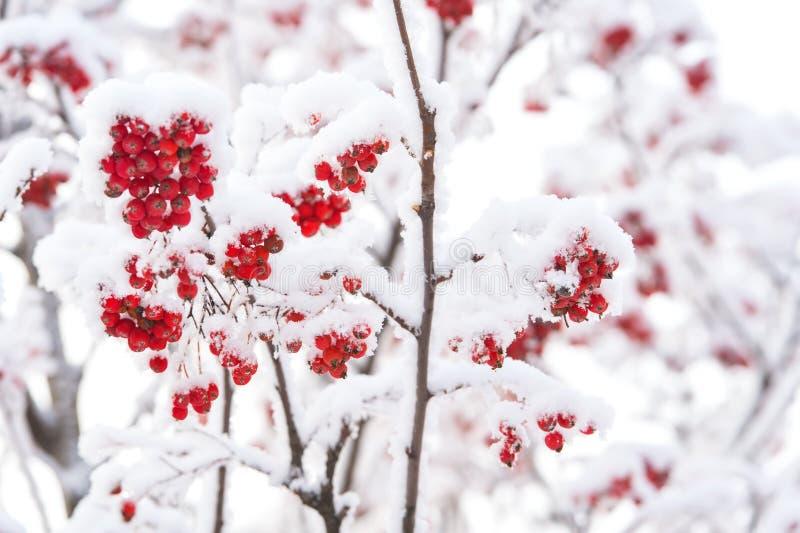 浆果包括红色雪 库存图片