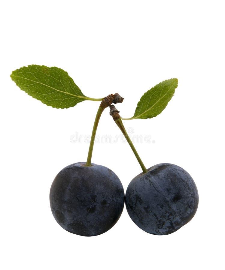 浆果叶子黑刺李 免版税库存图片