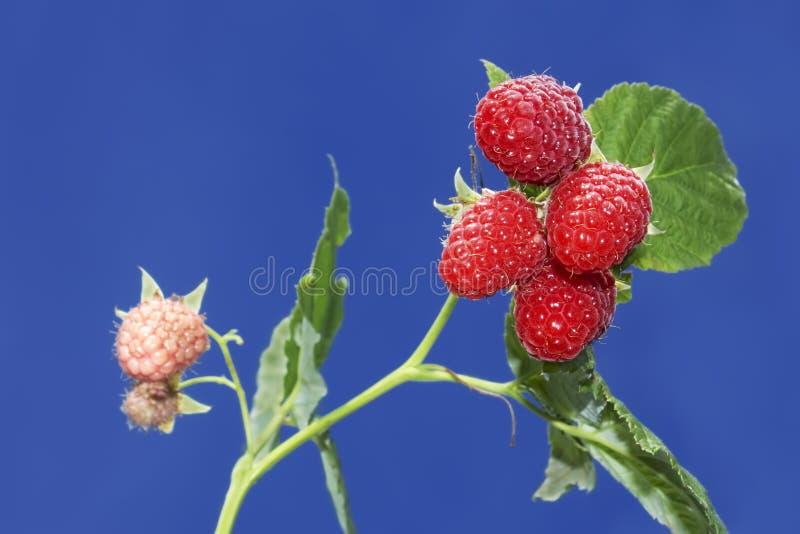 浆果成熟分行的莓 免版税库存图片