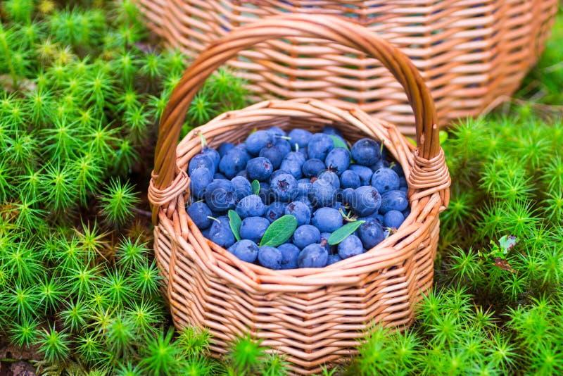 浆果森林可实现例证的照片 成熟水多的蓝莓和忍冬属植物在篮子在秋天森林里 免版税图库摄影