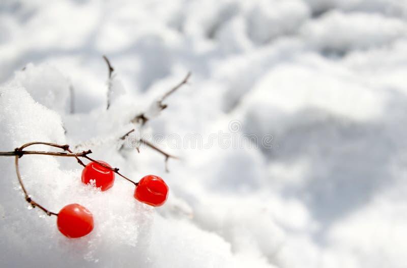 浆果红色雪 库存照片