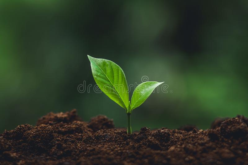 浇灌一棵树本质上,生长树三的年轻树树木种植树关心 免版税库存图片