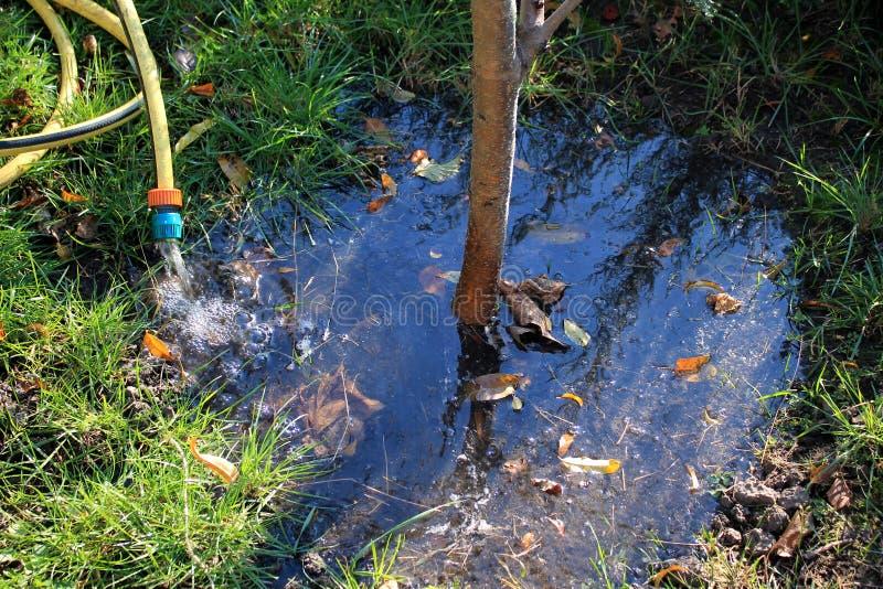 浇灌从水管的秋天年轻果树 库存照片