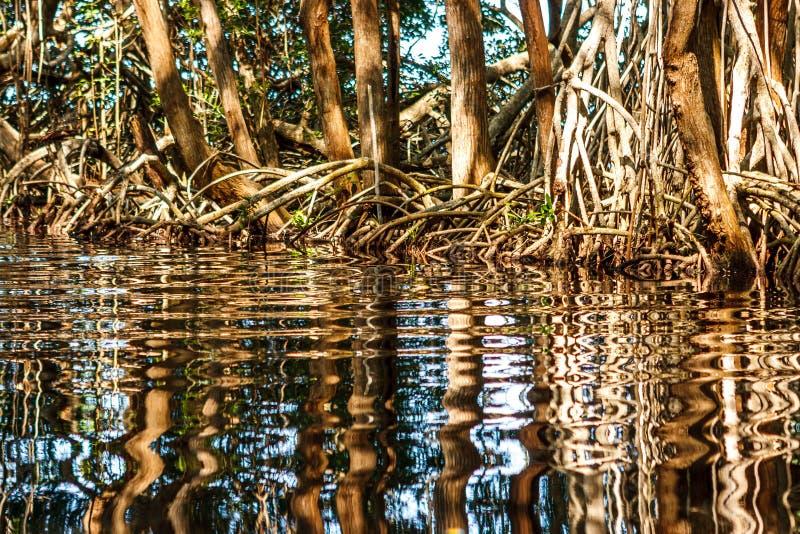 浇灌反射的美洲红树树根, Celestun,尤加坦,墨西哥 图库摄影