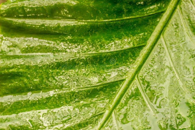 浇灌在瓣的露水在湿绿色叶子 库存照片