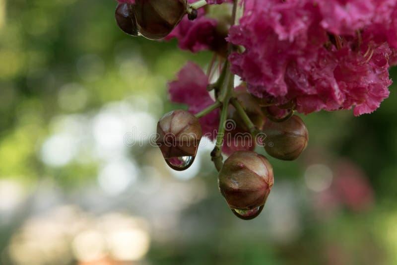 浇灌在绉绸桃金娘树的下落与开花和芽 库存照片
