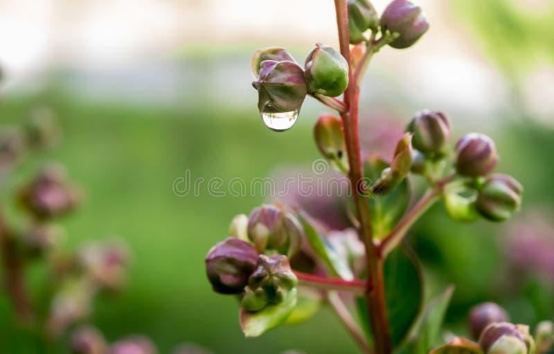 浇灌在绉绸桃金娘植物的下落有玫瑰色的芽的 免版税库存图片
