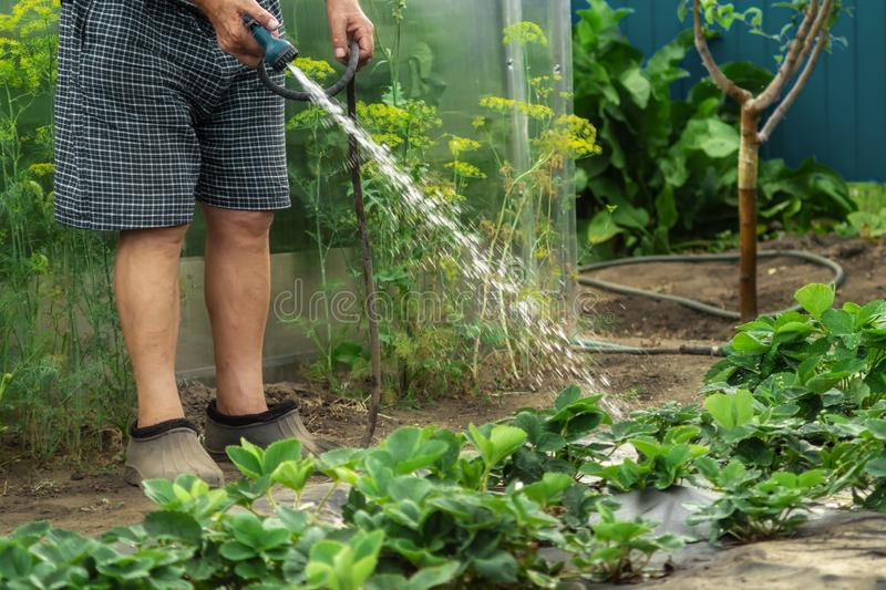 浇灌年轻草莓灌木的一位资深花匠在成长助力的一个庭院里与阵雨水枪 有机从事园艺, 库存图片
