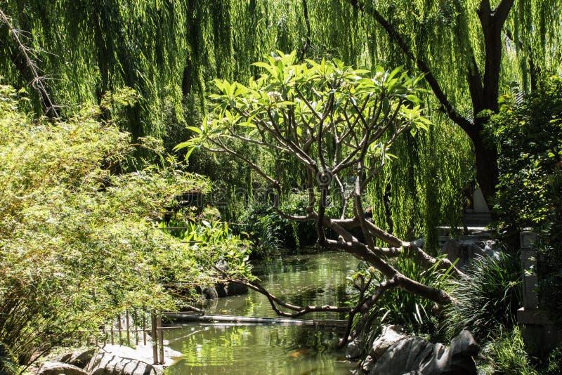 浇灌有树的垂柳,赤素馨花,鸡爪枫庭院 库存照片