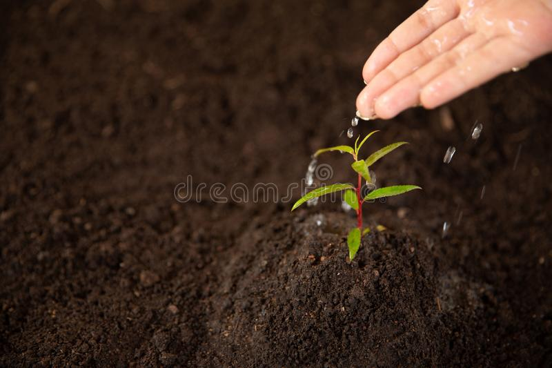 浇灌树的年轻树树木种植树关心 库存图片