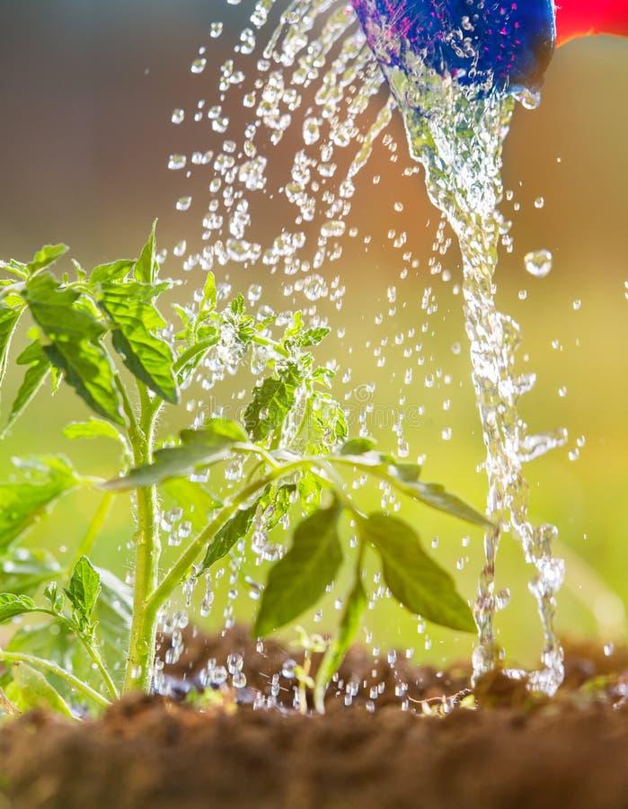 浇灌的幼木蕃茄在温室庭院里 免版税图库摄影