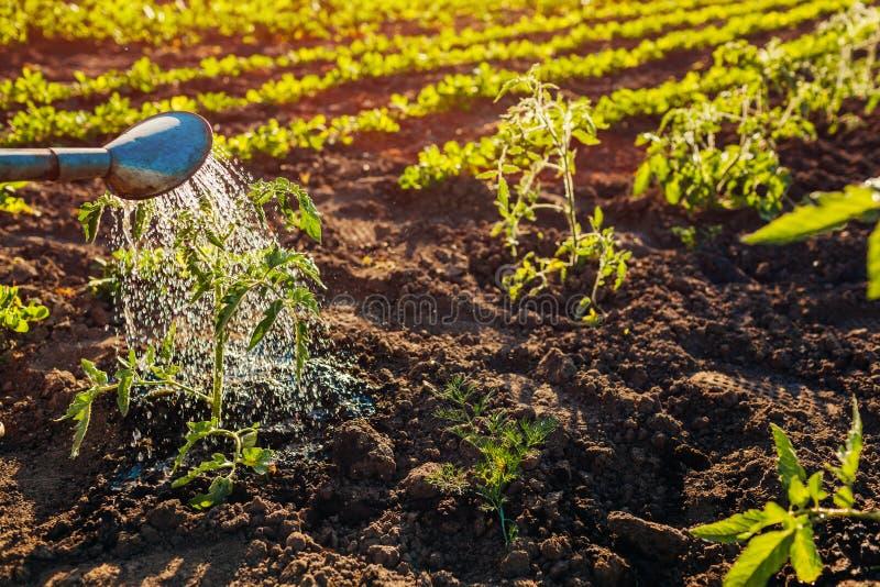 浇灌的蕃茄从一把喷壶发芽在日落在乡下 农业和农厂概念 免版税库存图片