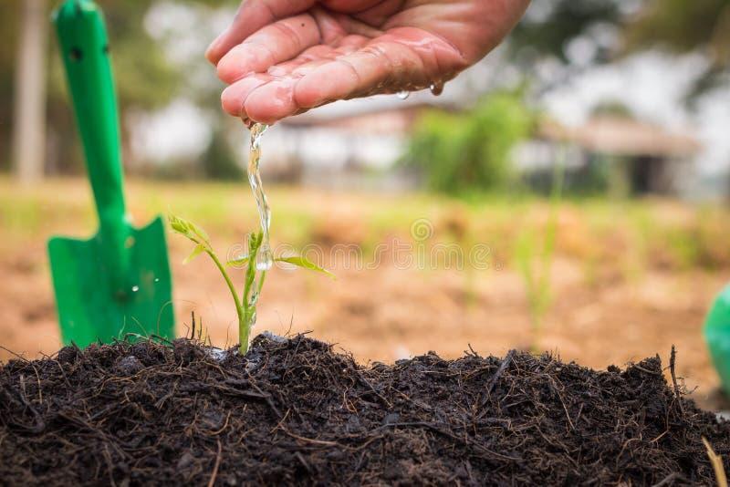 浇灌年幼植物的人的手 免版税图库摄影