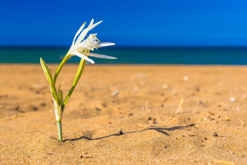 浇灌lilly在嘉藤Stalos海滩,干尼亚州专区,西克利特,希腊 免版税库存照片