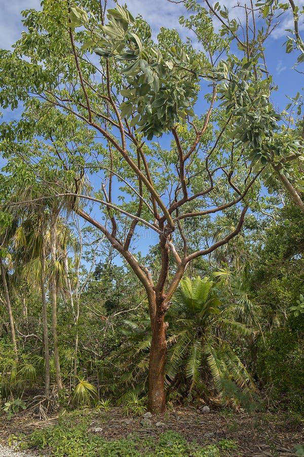 浓汤中间状态树 库存照片