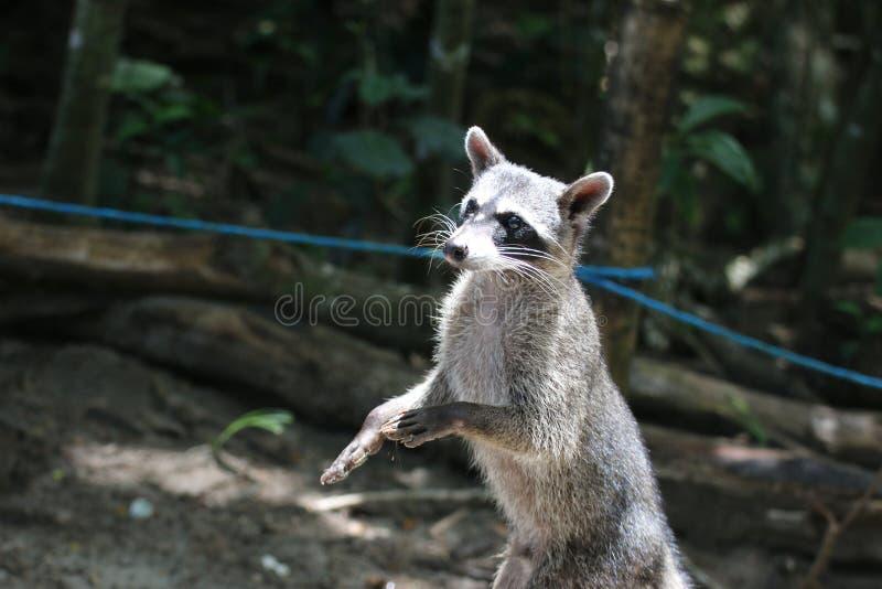 浣熊乞求为在曼纽尔安东尼奥海滩,哥斯达黎加的食物 免版税库存图片