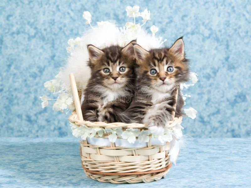 浣熊小儿床小猫被编织的缅因 免版税图库摄影