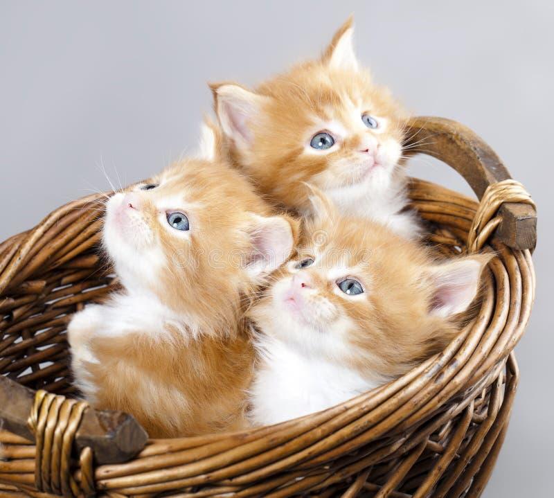 浣熊小猫缅因 库存图片