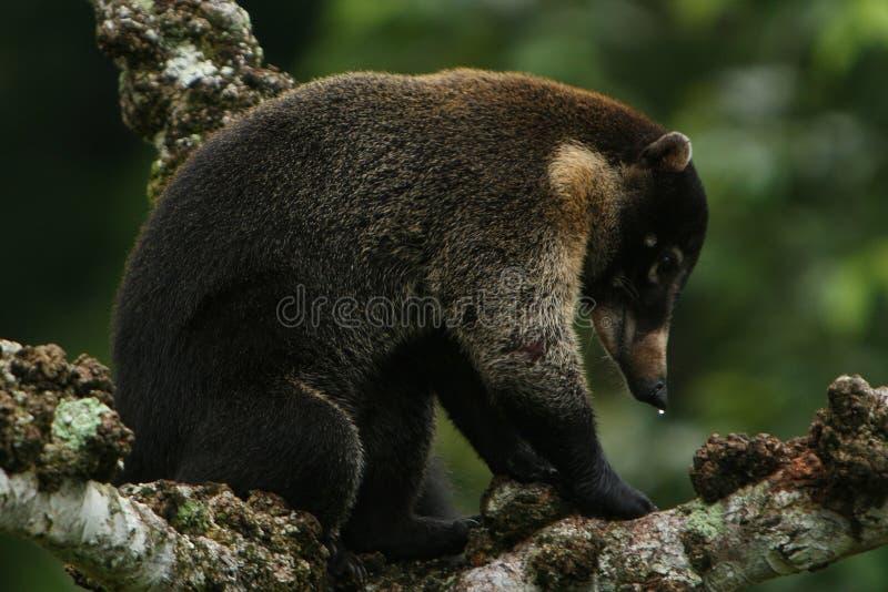 浣熊引导了白色 免版税图库摄影