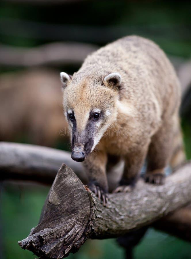 浣熊引导了白色 免版税库存图片