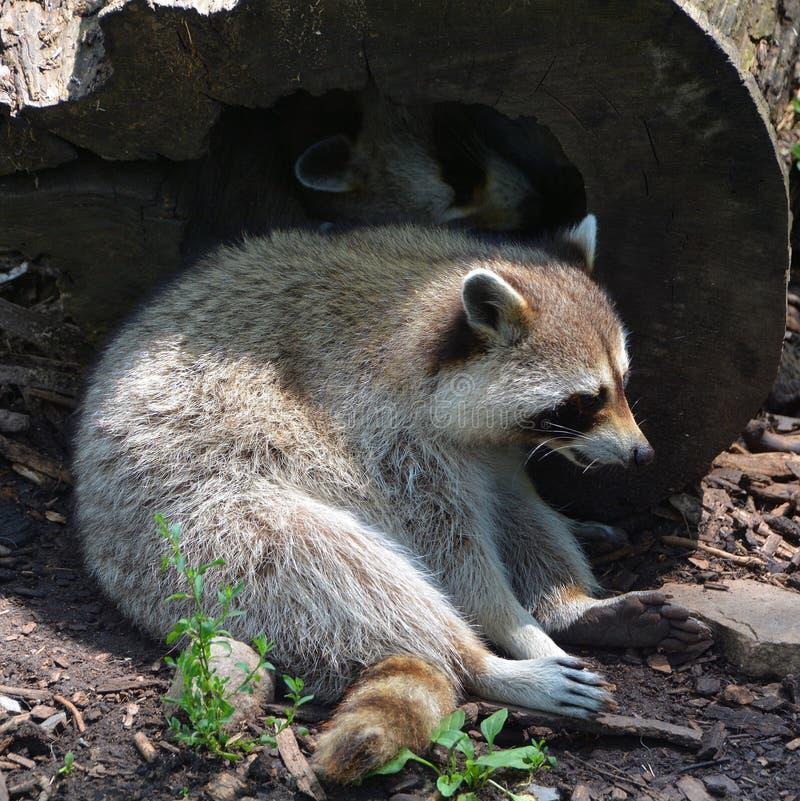 浣熊或浣熊 免版税库存照片