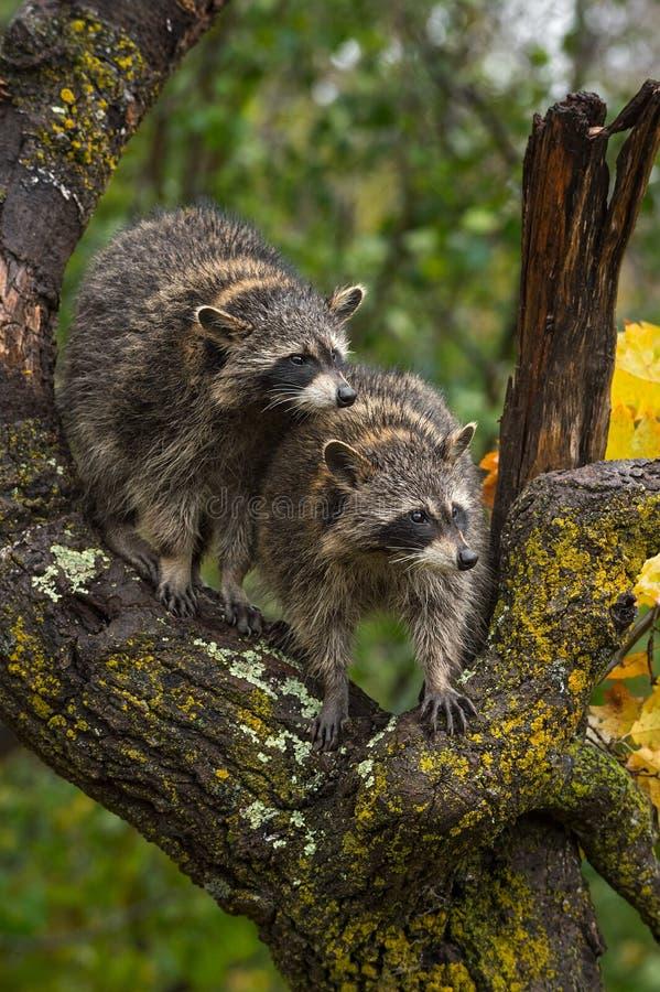 浣熊浣熊属lotor看起来从树弯曲处  免版税库存照片