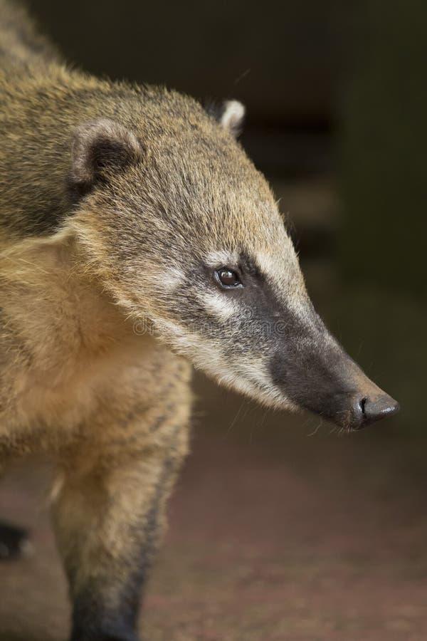 浣熊的口鼻部 图库摄影