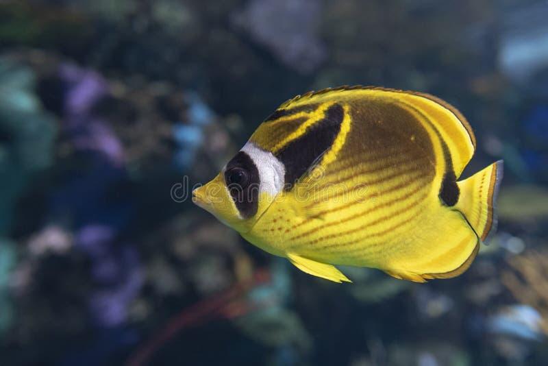浣熊蝴蝶鱼- Chaetodon月形物,热带珊瑚鱼 免版税库存照片