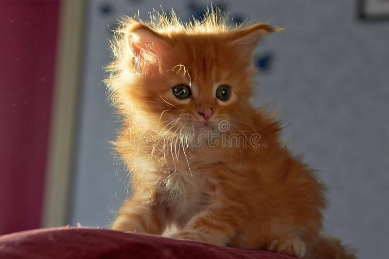 浣熊逗人喜爱的小猫缅因 免版税库存照片