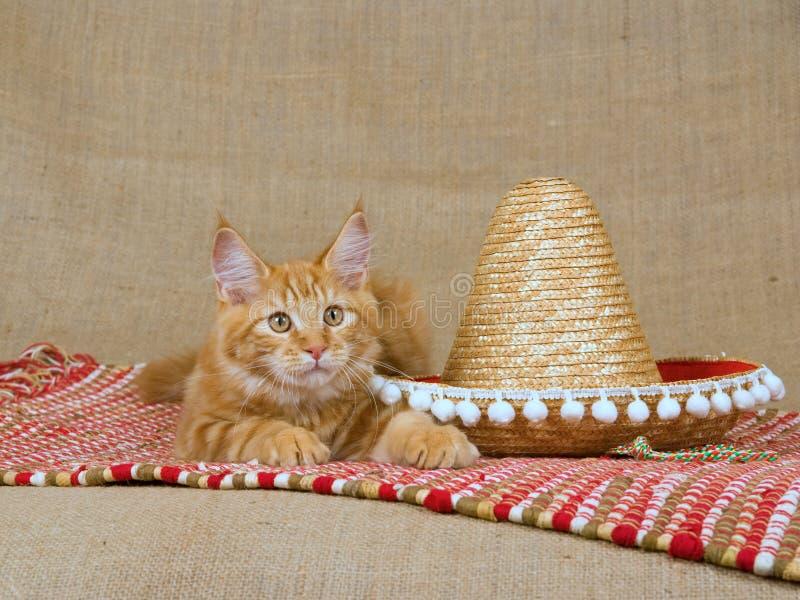 浣熊逗人喜爱的小猫缅因mc红色阔边帽 免版税图库摄影