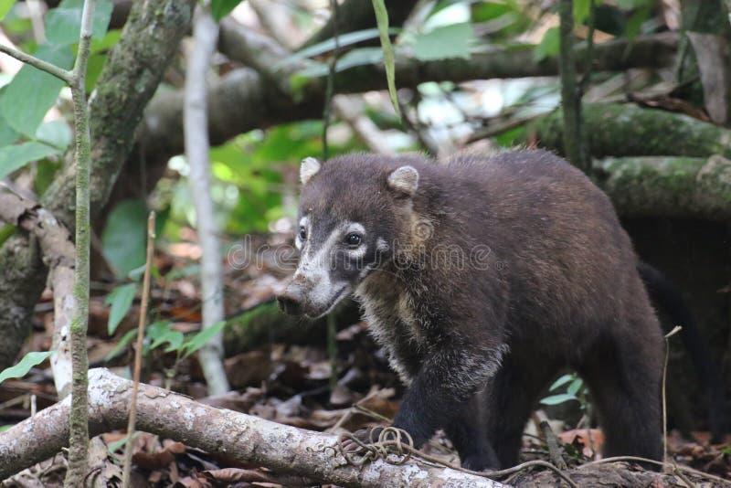 浣熊, Corcovado国家公园,哥斯达黎加 库存图片