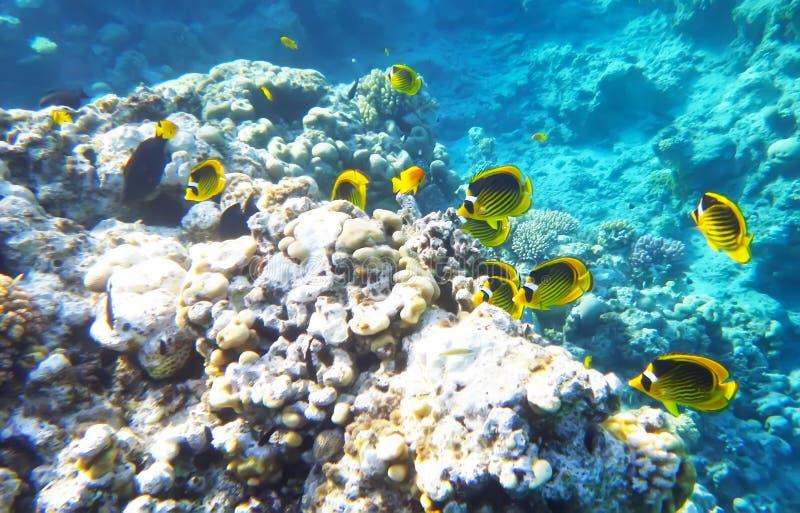 浣熊蝴蝶鱼水下的红海 库存图片