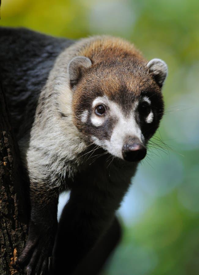 浣熊narica美洲浣熊引导了白色 图库摄影