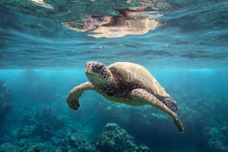 绿浪乌龟在表面 免版税图库摄影