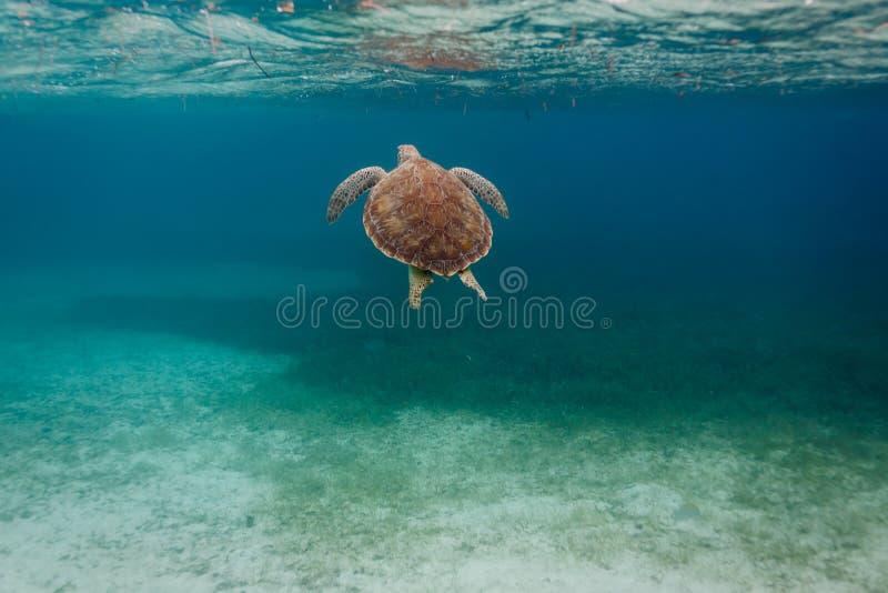 绿浪乌龟,海龟属mydas 免版税图库摄影